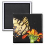Detail of a captive western tiger swallowtail refrigerator magnet