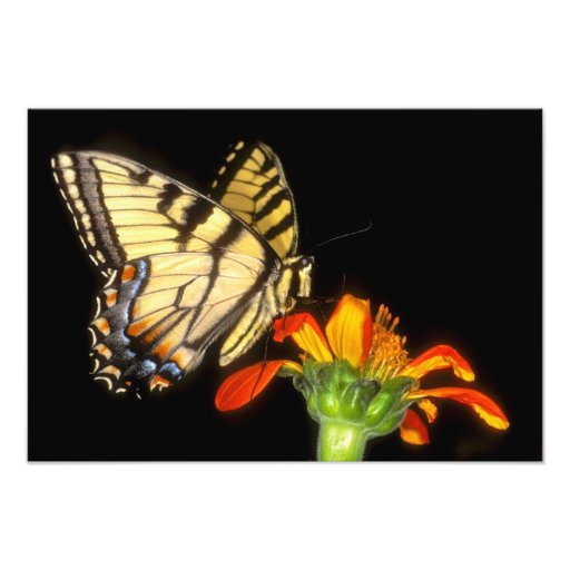 Detail of a captive western tiger swallowtail photo art