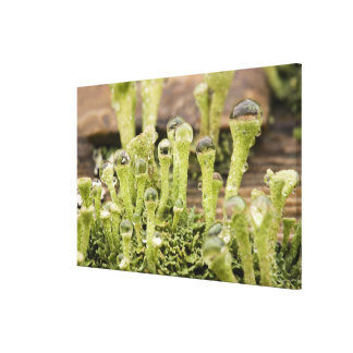 Detail of raindrops on lichen. Credit as: Don Canvas Print
