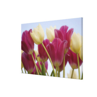 Detail of tulips. Credit as: Don Paulson / Canvas Print