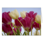 Detail of tulips. Credit as: Don Paulson / Greeting Card