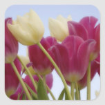 Detail of tulips. Credit as: Don Paulson / Square Stickers