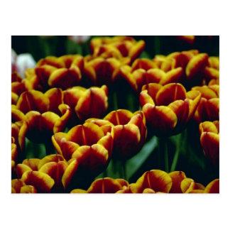 detalle amarillo de las flores desarrolladas recie postal