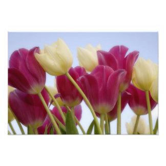 Detalle de tulipanes. Crédito como: Don Paulson/ Impresión Fotográfica