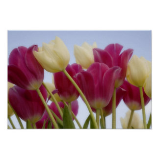 Detalle de tulipanes. Crédito como: Don Paulson/ Póster