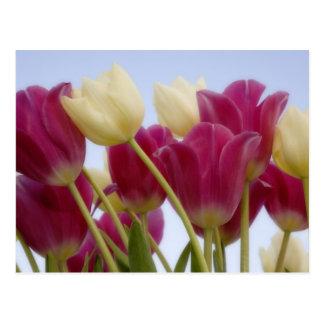 Detalle de tulipanes. Crédito como: Don Paulson/ Tarjetas Postales