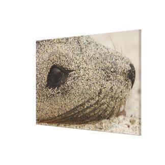 Detalle de un Zalophus de la otaria de las Islas G Lona Envuelta Para Galerías