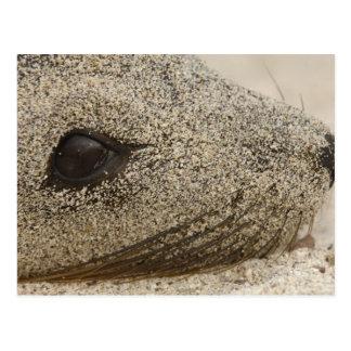 Detalle de un Zalophus de la otaria de las Islas G Tarjeta Postal