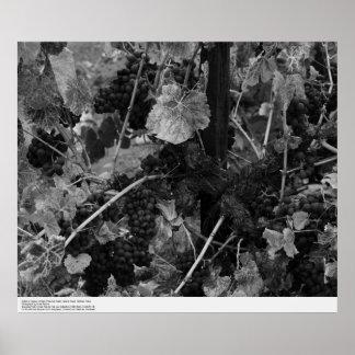Detalle de uvas, pañero Vineyard, Napa, 1966 Poster