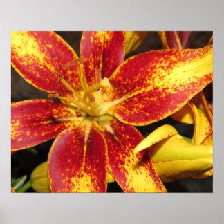 """Detalle hermoso: Primer de """"Lily asiático Póster"""