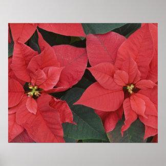 Detalle rojo del Poinsettia pulcherrima del eufor Posters