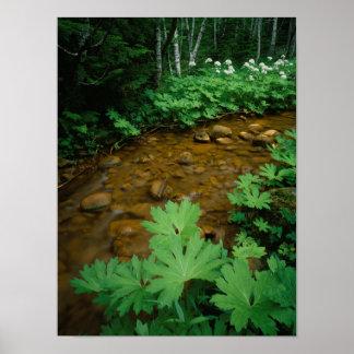 Devils Club lining a stream in Mt. Rainier Poster