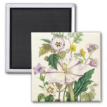 Devil's Trumpet, plate 46 from 'The Ladies' 2 Inch Square Magnet