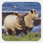 Devon del sur dos corderos en el acantilado de la pegatina cuadrada