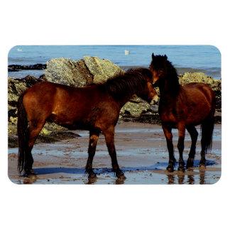 Devon del sur dos potros de Dartmoor en la playa a Iman De Vinilo
