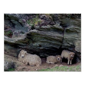 Devon Long Wool Sheep Family Sheltering Poster