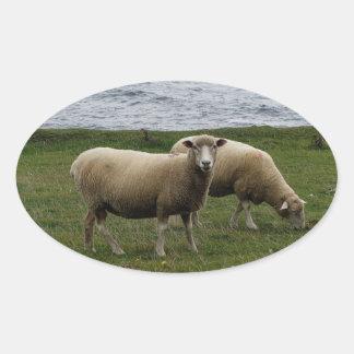 Devon longwool sheep on remote coastline. oval sticker