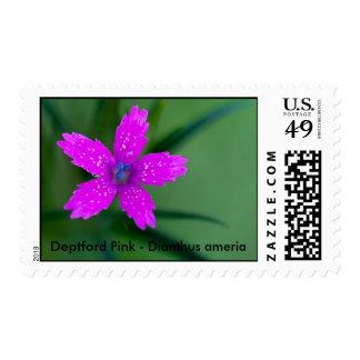 DeVries Set 3 02 sRGB, Deptford Pink - Dianthus... Postage