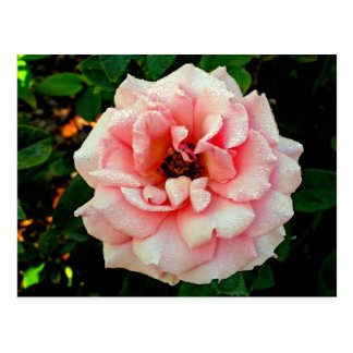 Dew-covered Pink Rose Postcard