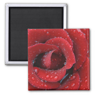 Dew covered red rose decorating grave site in magnet