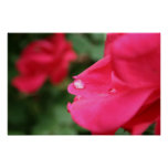 Dew Drop on Rose Posters