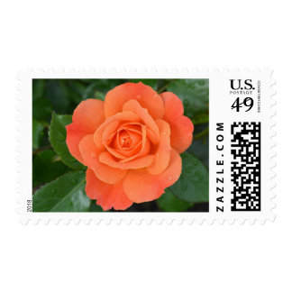 Dew Drops Covered Orange Rose Stamps