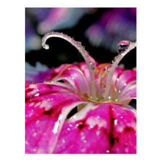 Dew Drops on a Dianthus Postcard