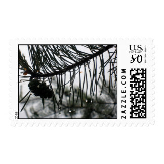 Dew Drops on a Pine Cone Postage