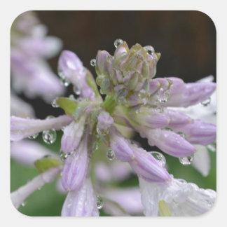 Dew Drops on Hosta Square Sticker