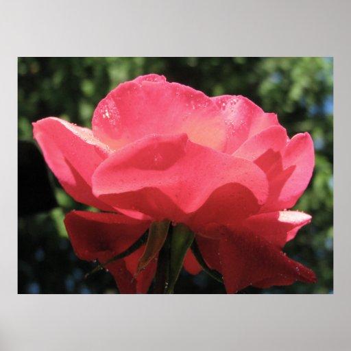 Dew Kissed Rose Poster