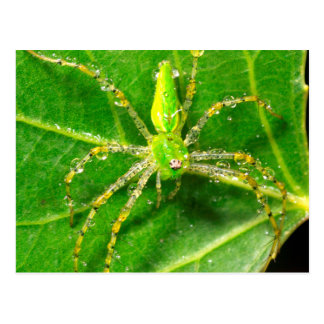 Dew on a Green Lynx Spider Postcard