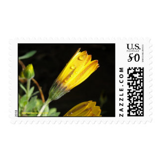 Dew on a Yellow Daisy - Postage
