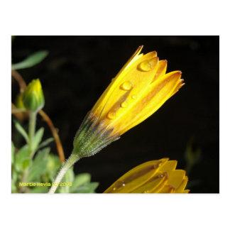 Dew on a Yellow Daisy - Postcard