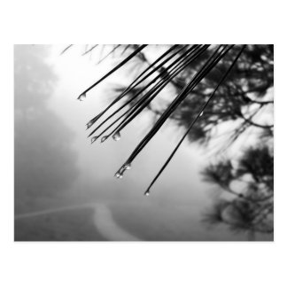 Dew on Pine Needles Postcard