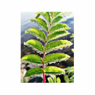 Dew On Rowen Green Leaves Photo Cutouts