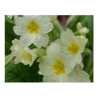 Dew on White and Yellow Primrose Postcard