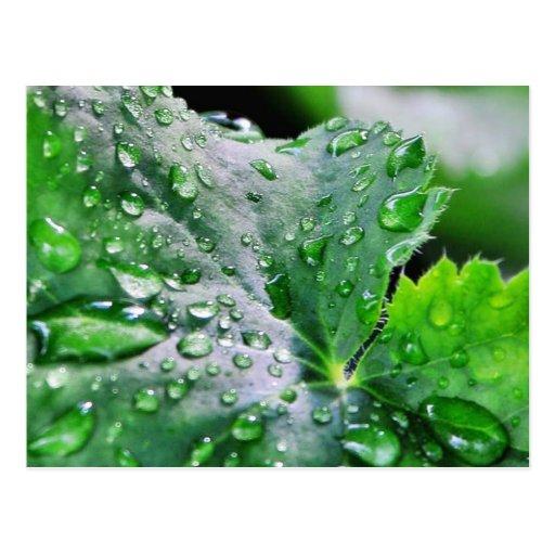 Dew Water Droplets Drops Postcard