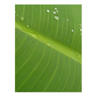 Dewey Banana Leaf 1 Postcard