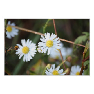 Dewey daisies poster