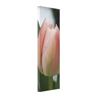 Dewy Pink Tulip on Snowy Spring Morning Stretched Canvas Prints