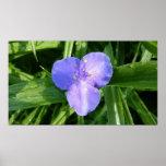 Dewy Trillium Blue-Purple Spring Wildflower Poster