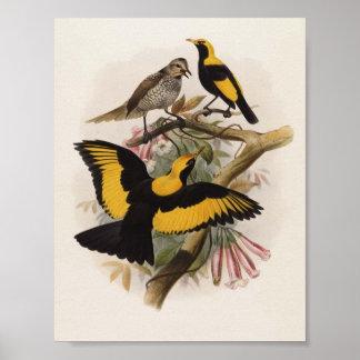 DG Elliott - melinus de Sericulus - Glorieta-pájar Poster