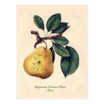 d'Hiver de Bergamotte Crassane (pera) Postales