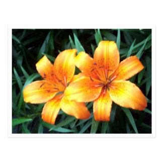 Día Lillies Postal