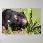 Diablo tasmano, Australia Impresiones