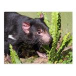 Diablo tasmano, Australia Postales