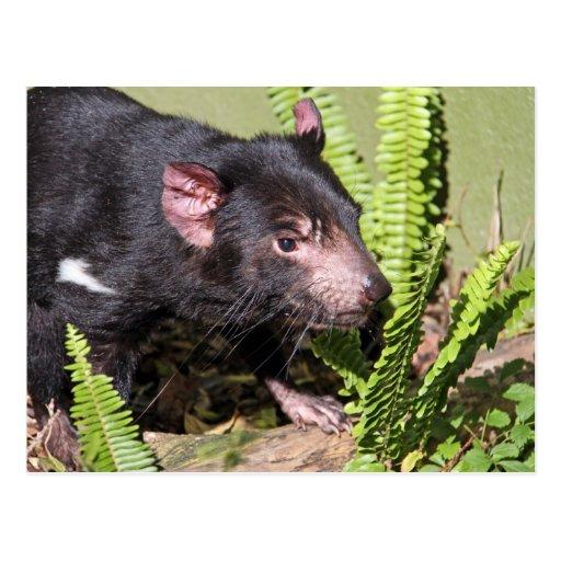 Diablo tasmano, Australia Tarjetas Postales