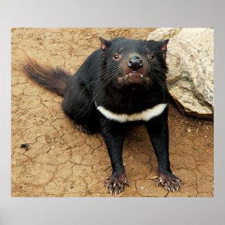 Diablo tasmano que presenta para el poster de la f