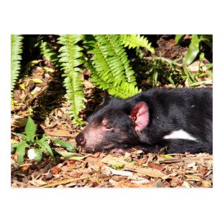 Diablo tasmano que toma el sol en la luz del sol tarjetas postales