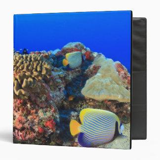 """Diacanthus real de Pygoplites del Angelfish), Carpeta 1 1/2"""""""